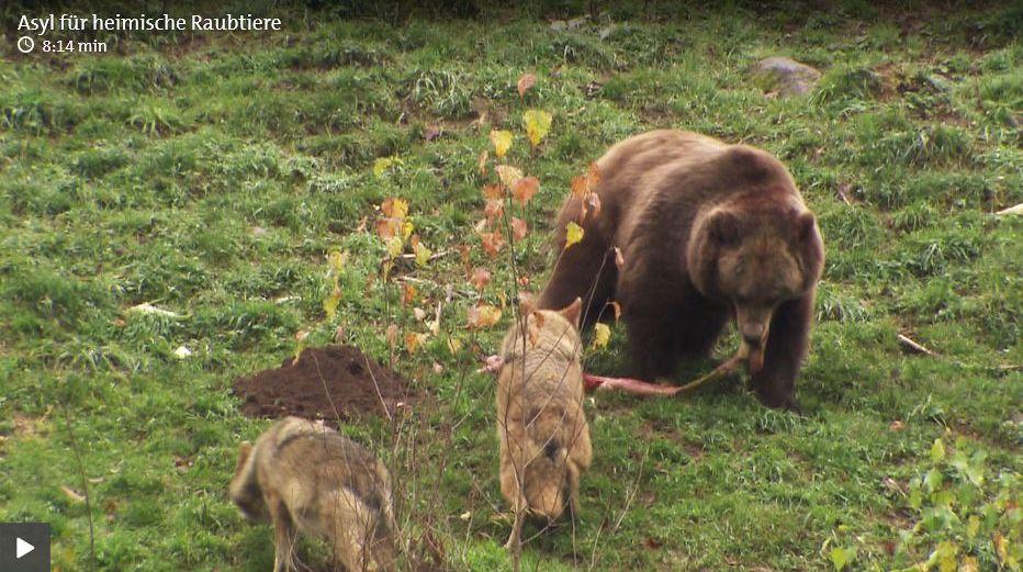 Bären Im Schwarzwald