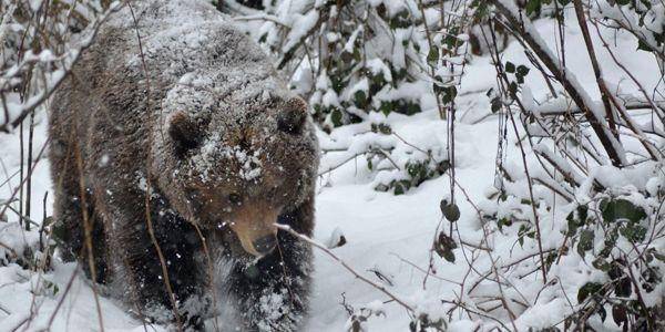 Bär im Schnee