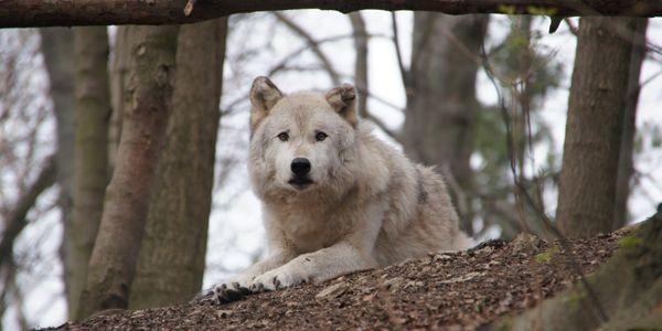 Wartender Wolf