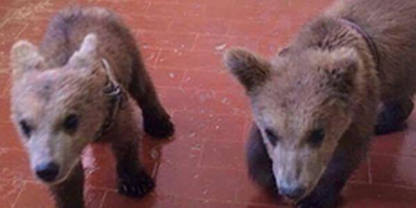 Jungbären aus Albanien