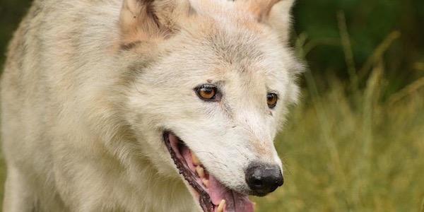 Rückzugsanlage für Wölfe