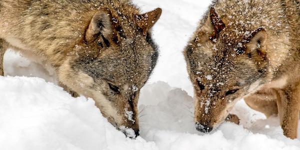 2016-12-08-Wölfe-Schnee