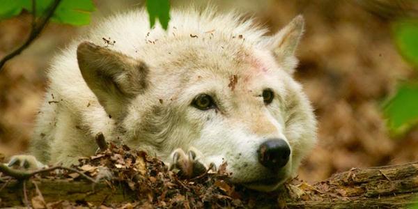 2016-12-30-Wolf-Worbis