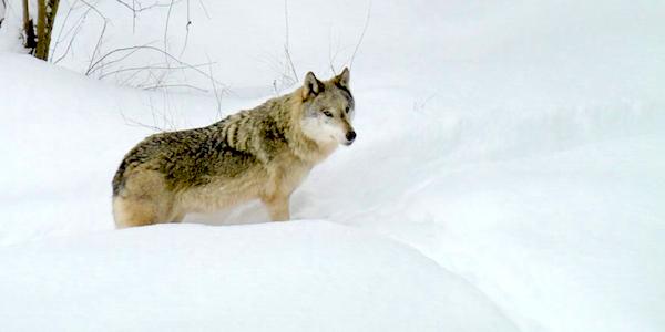 2017-01-25-Wolf-Schnee