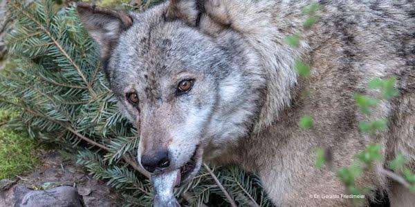 2017-05-25-Wolf