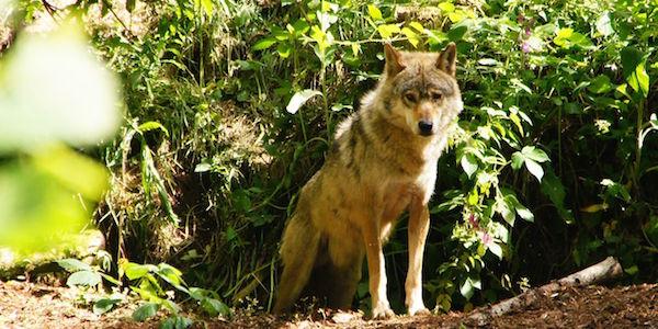2017-06-23-Wolf-Schwarzwald