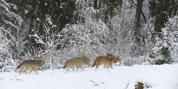 2019-01-17-Wölfe
