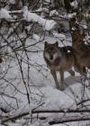 Wölfe im Dickicht